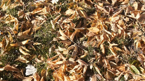 Fallen leaves on the ground (pan right) Stock Video Footage