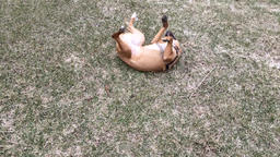Dog rolling in the grass and running Footage