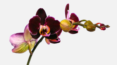 Time-lapse of opening purple Phalaenopsis orchid with ALPHA channel Footage