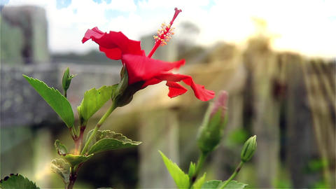 Red Flower In The Wind Footage