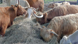 Scottish cattle breed and ordinary cows eat hay on a farm Footage