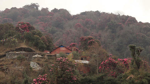 Raining Himalayas Houses Blossoming Rhododendrons Footage