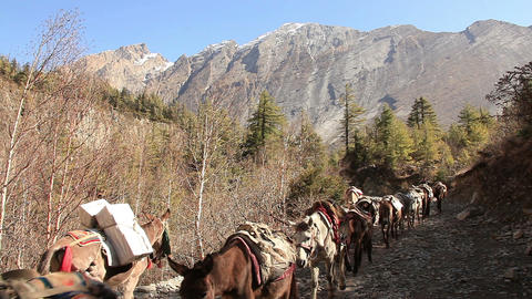 Transportation Goods Mules Himalayas Footage