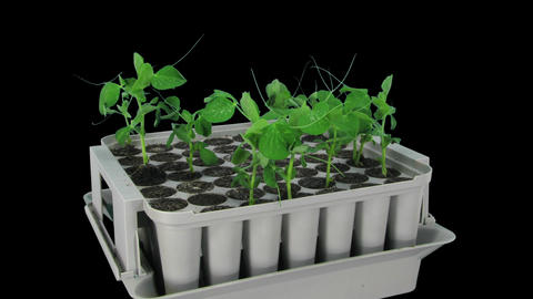 Time-lapse of growing pea vegetables in RGB + ALPHA matte format Footage