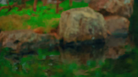 Pull focus shot showing various elements of a beautiful lush Japanese garden Footage
