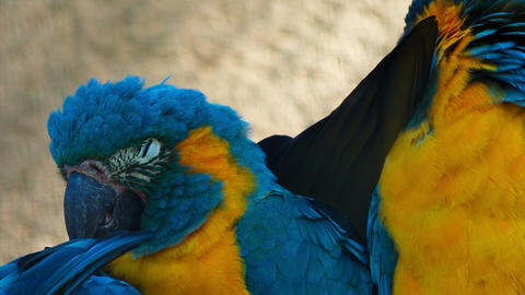 Ultra closeup shot of 3 critically endangered cute blue-throated macaws playing  Live Action