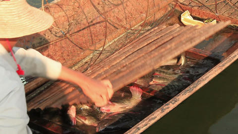 Fisherman moves caught fish from nets in the boat. Inle lake, Myanmar Live Action