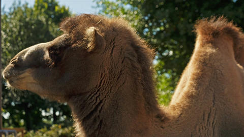 Ultra closeup shot of a camel against a green foliage background Footage
