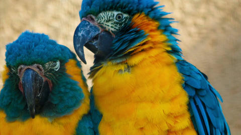 Closeup shot of 2 blue-throated macaws - ara glaucogularis - posing for the came Footage
