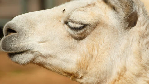 Ultra detailed shot showing the profile of an Arabian dromedary camel face - cam Footage