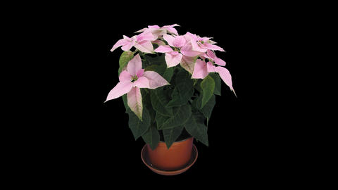 Time-lapse of growing pink poinsettia Christmas flower, 4K with ALPHA channel GIF
