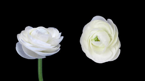 Time-lapse of opening and closing ranunculus flowers with ALPHA matte Footage