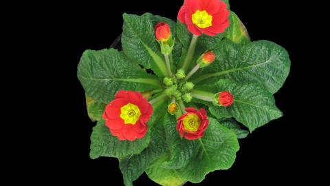 Time-lapse of opening red primula, top view with ALPHA channel Footage