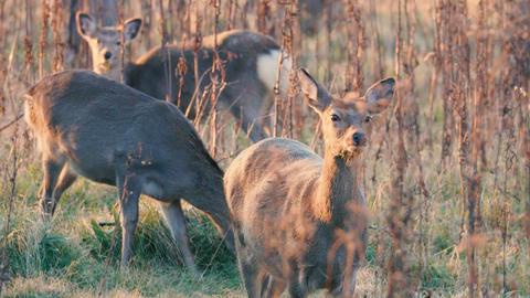 Hokkaido Sika Deer,in Shiretoko National Park,Hokkaido,Japan,Filmed in 4K Footage