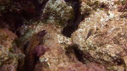 Mediterranean moray (Muraena helena) hiding between the rocks Footage