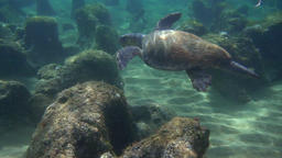 Green sea turtle (Chelonia mydas) floating over rocks Footage