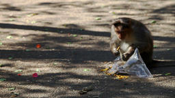 Monkey Sits on Ground Eats Food by Torn Plastic Bag Live Action