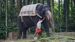 Large Elephant Stand Guy Prepares Food in Bin Footage