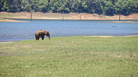 Elephant Grazes on Meadow by Lake in Indian National Park Footage