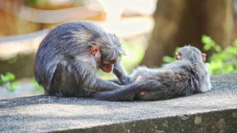 Closeup Monkey Sits on Stone Searches Fleas on Other in Park Footage