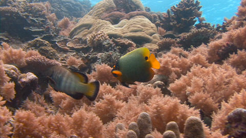 Angel fish. Colorful coral reef. Exciting diving at the archipelago of Palau Live Action