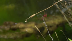 Red dragonfly on a branch above a creek with algae floating Footage
