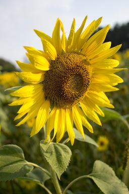 Yellow sunflower フォト