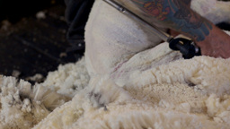 Close Up of a Shearer Shearing a Sheep Stock Video Footage