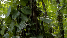 Tropical Jungle Tree - Dolly Tracking Stock Video Footage