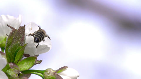 Flying Bee HD Stock Video Footage