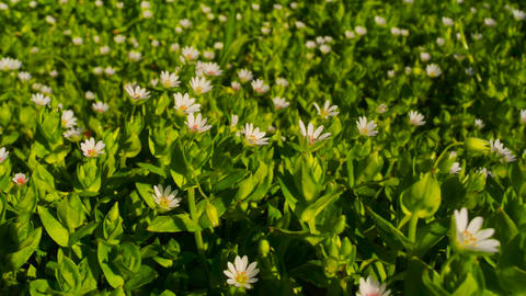 Wild flowers on a background of green grass in the Stock Video Footage