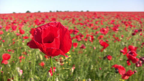 Beautiful poppy flower Footage