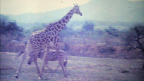 Giraffes Roaming Through Game Park 1979 Vintage 8mm film Stock Video Footage