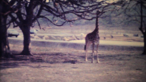 Giraffes Roaming Through Game Park 1979 Vintage 8mm film Footage