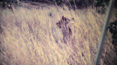 Lions Roaming Through Game Park 1979 Vintage 8mm film Stock Video Footage