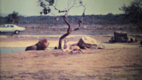 Lions Roaming Through Game Park 1979 Vintage 8mm film Footage