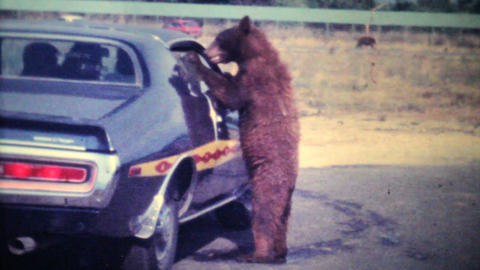 Young Bear Cub Eating Out Of Car Window 1979 Vintage 8mm film Footage