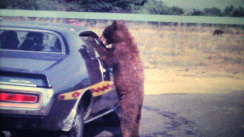 Young Bear Cub Eating Out Of Car Window 1979 Vintage 8mm... Stock Video Footage