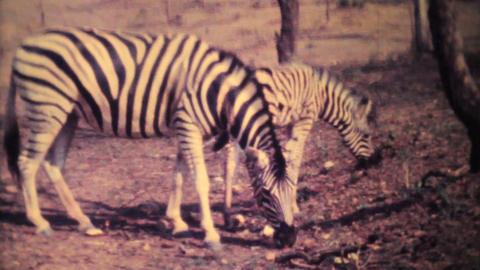 Zebras Roaming Through Game Park 1979 Vintage 8mm film Stock Video Footage