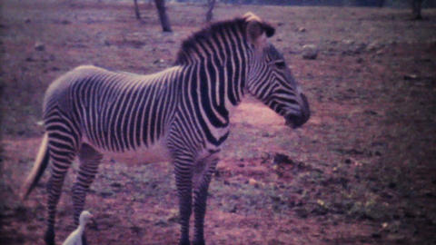 Zebras Roaming Through Game Park 1979 Vintage 8mm film Stock Video Footage