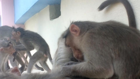 Indian macaques Macaca radiata monkey family Footage