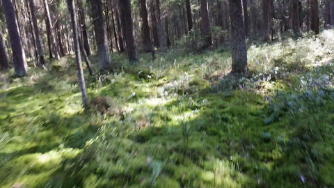 Daily Walk pine forest Footage