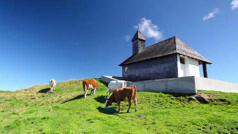 White and brown cows in the mountain pastures Footage