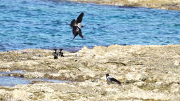 Hooded crows flying above the ocean, slow mo Footage