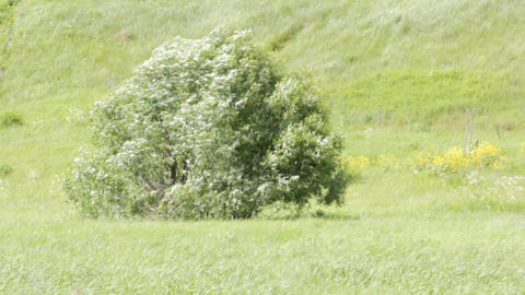 Willow. Meadow. Strong wind Footage