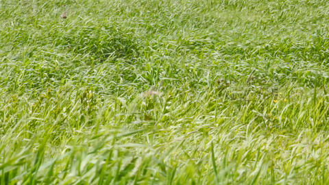 Wind shakes gentle green grass in early summer Live Action