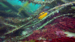 Fascinating and mysterious underwater dive sea kelp gardens. Of the Pacific ocea Footage