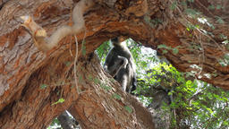 Langur monkeys are hiding in crown of old acacia tree Live Action