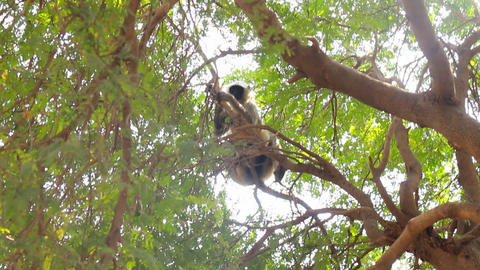 Langur monkeys are hiding in crown of old acacia tree 5 Live Action