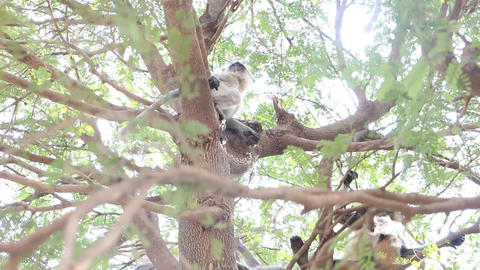 Langur monkeys are hiding in crown of old acacia tree 6 Live Action
